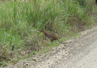 bloomfield_track_wallaby